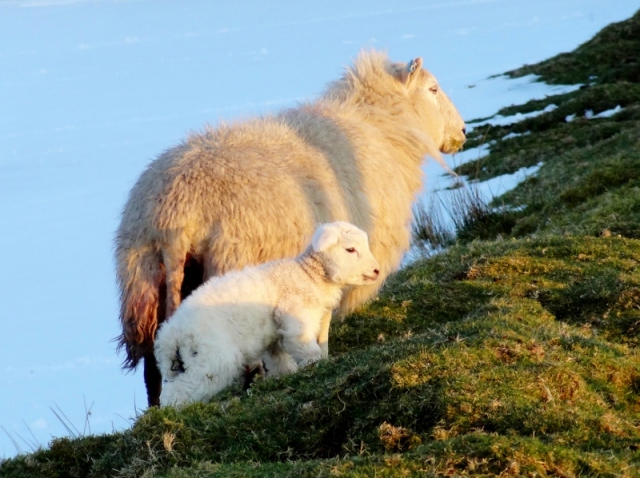 Sheep: Ewe and Lamb on Denbigh Moors, Wales