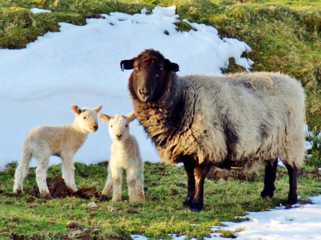 Sheep: Ewe and Lambs on Denbigh Moors, Wales