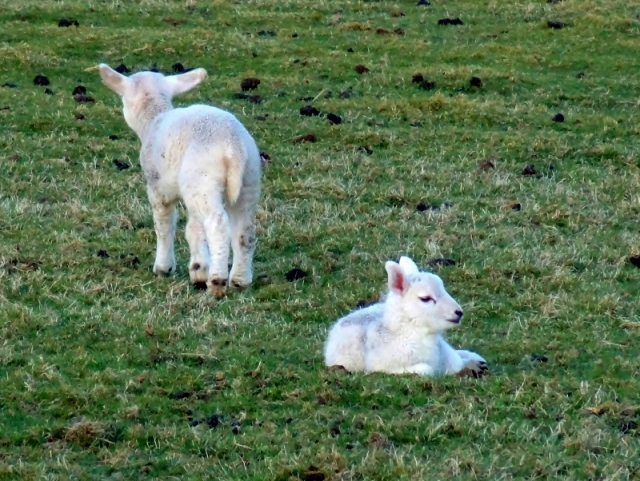 Sheep: Two Lambs on Denbigh Moors, Wales